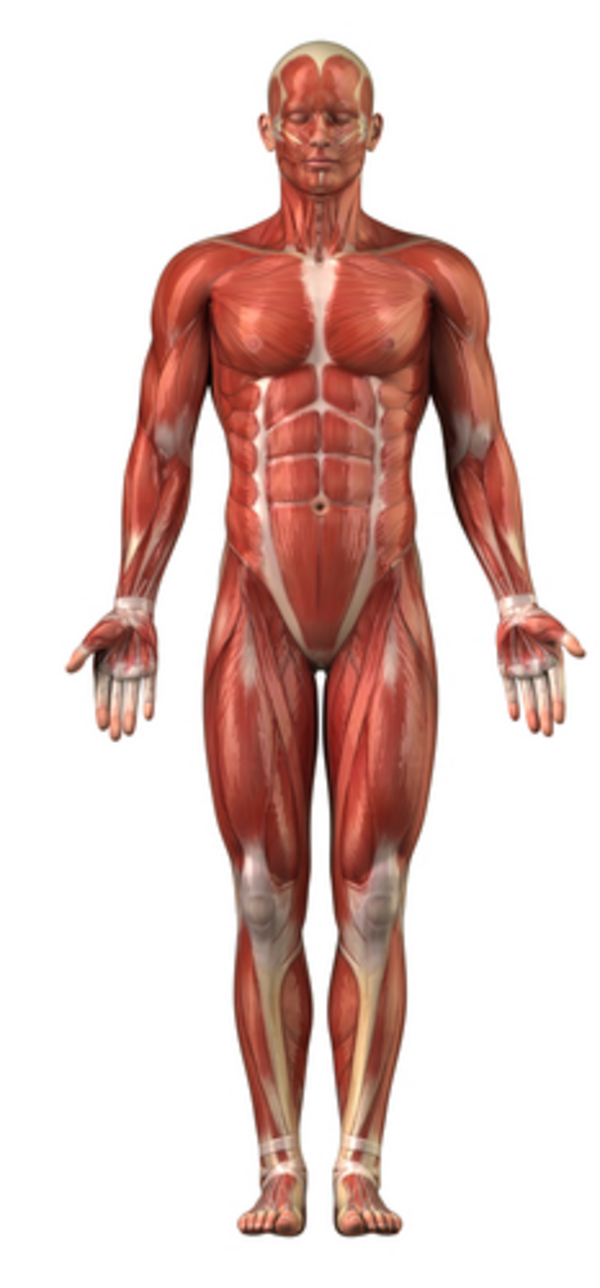together with Drawn Sleleton Human Bone also Esqueleto besides Cba Be furthermore A Cf. on muscular system male labels
